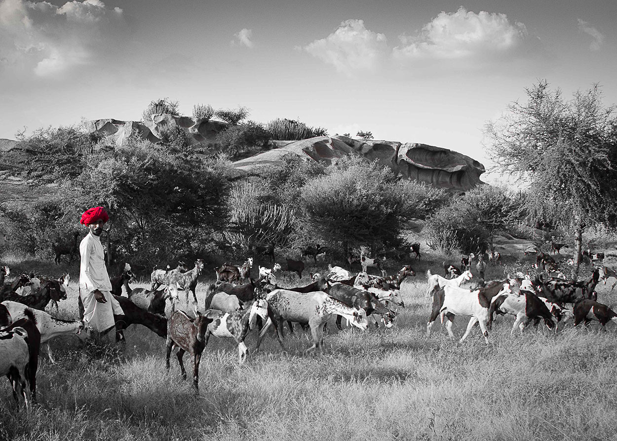 Farmer with his herd